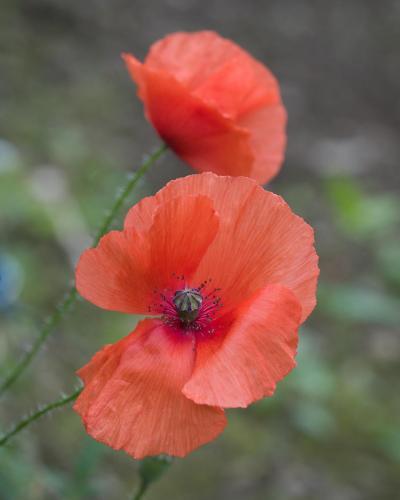 Claudius Warzecha - Poppy